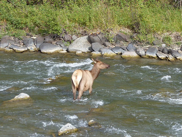Grand Canyon of Yellowstone An Elk Cooling Off - Yellowstone NP