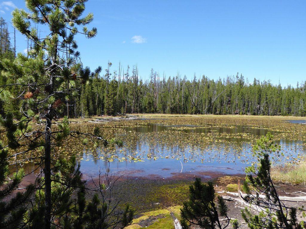 Grand Canyon of Yellowstone Lily Pad Lake Yellowstone NP