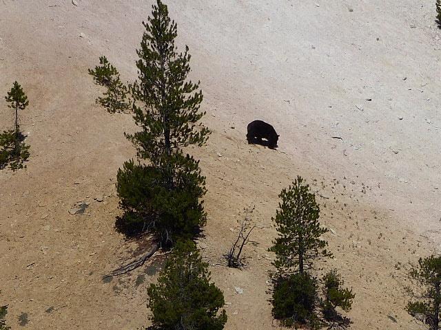 Grand Canyon of Yellowstone Bear sighting Yellowstone NP