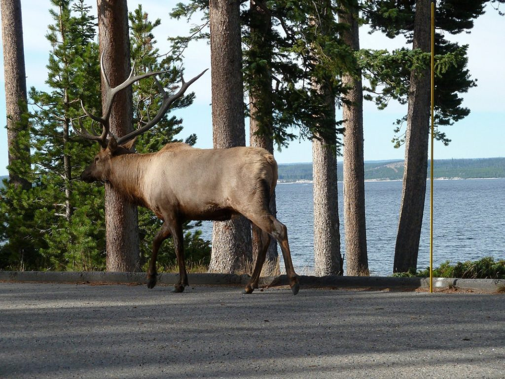 Old Faithful Elk by the roadside - Yellowstone NP