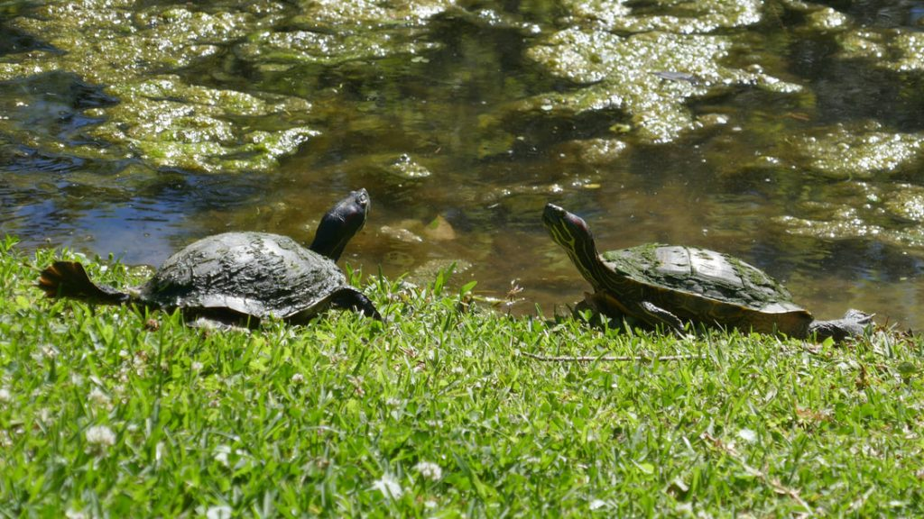 Alligators Snakes and Mosquitos Deep South USA Two baby turtles - sunbathing