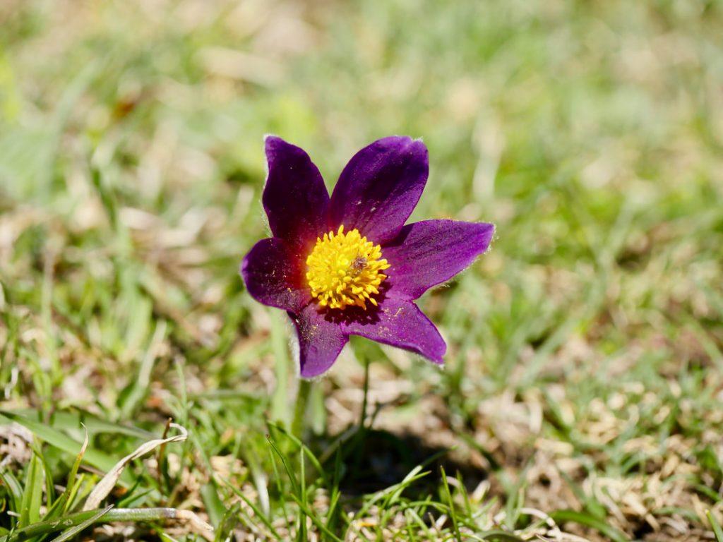 Picos Mountain Heaven Pasque flower - Pulsatilla Rubra
