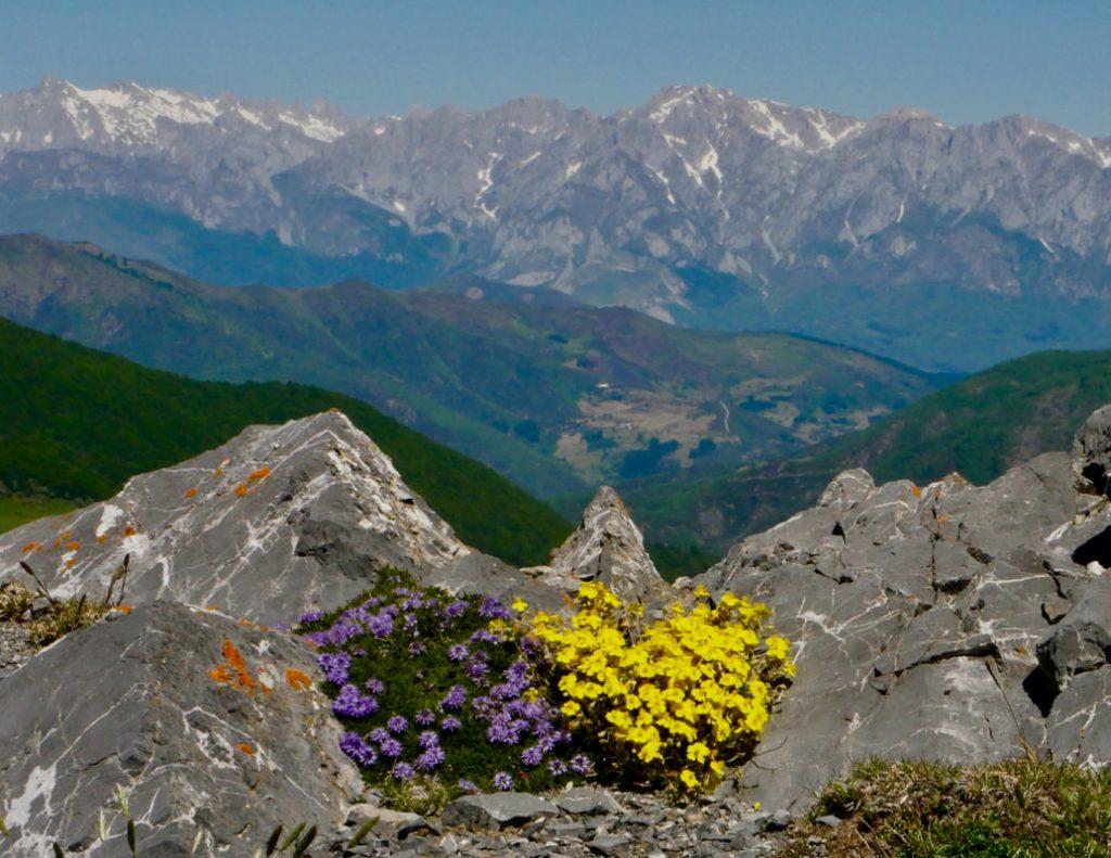 Picos Mountain Heaven Globularia Ripens and Helianthemum oleandicum ssp. piloselloides