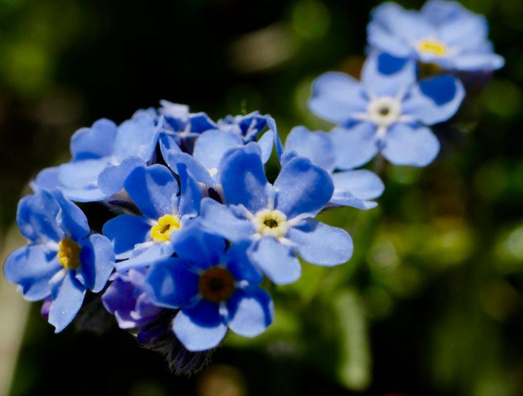 Wildflower Walking Picos de Europa - Forget-me-not