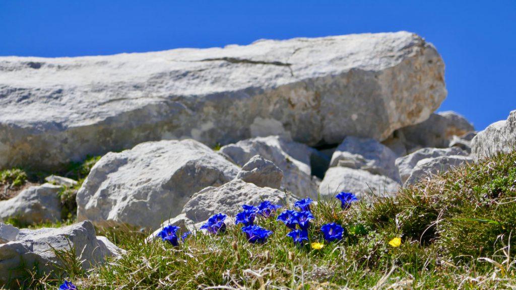 Wildflower Walking Picos de Europa Blue Trumpet Gentians reaching for an impenetrably blue sky