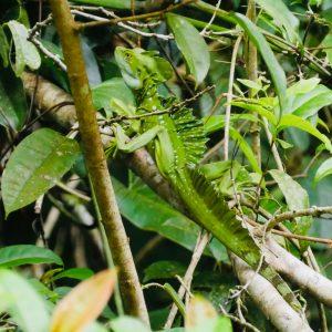 Salut Manatus! Jesus Christ Lizard