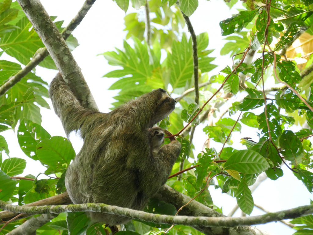 Salut Manatus! Three toed sloth (and baby!) America