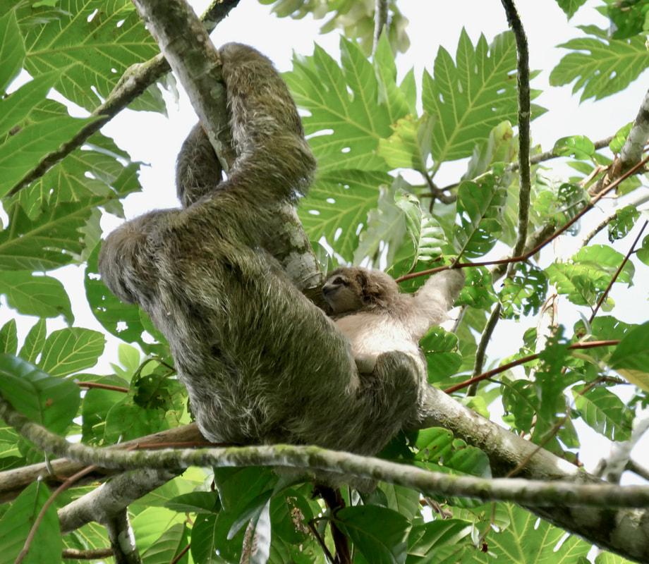 Salut Manatus! Three toed sloth (and baby!)