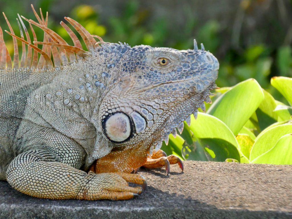 Salut Manatus! Iguana