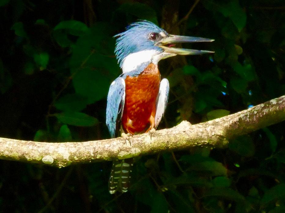 Salut Manatus! Ringed Kingfisher