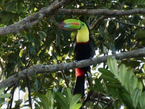 Salut Manatus! Keel billed toucan