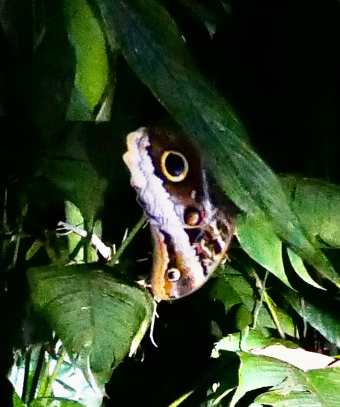 Owl Butterfly Costa Rica