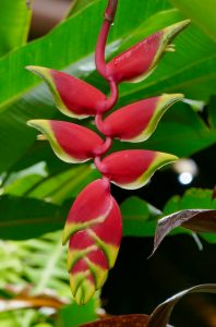 Heliconia flower Costa Rica