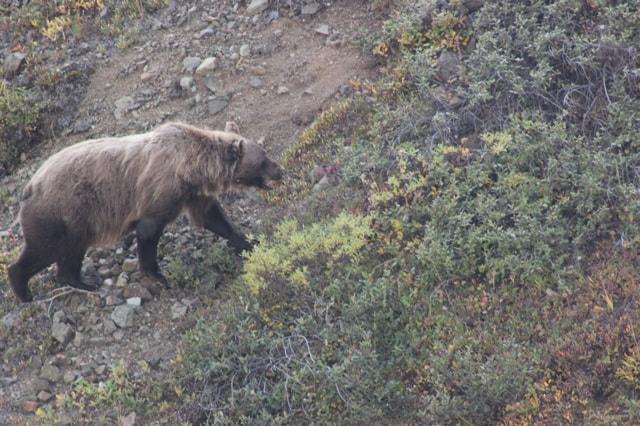 Denali National Park Grisly Brown Bear - Alaska
