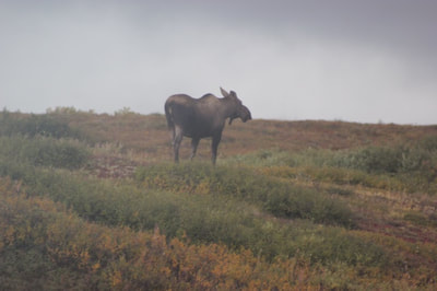 Denali National Park Alaskan Moose