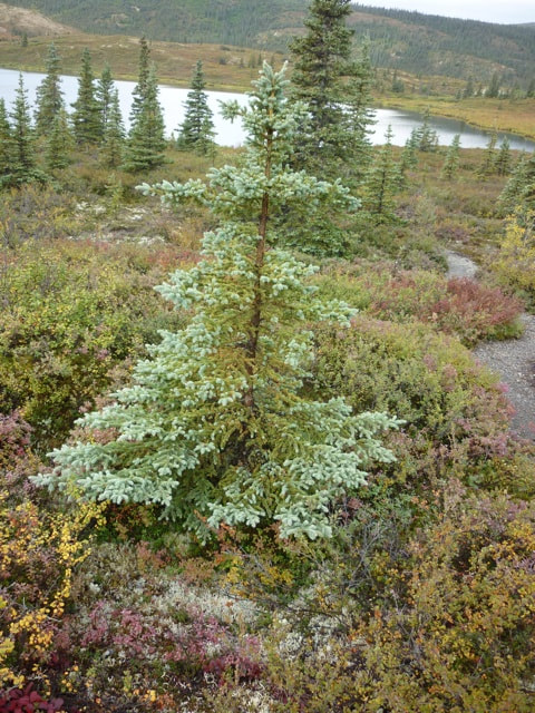 Denali Backcountry Lodge 50 year old Alaskan alpine tree