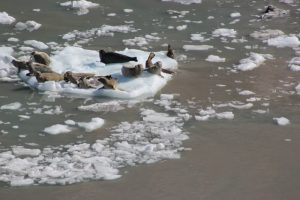 Basking Seals in Glacier Bay