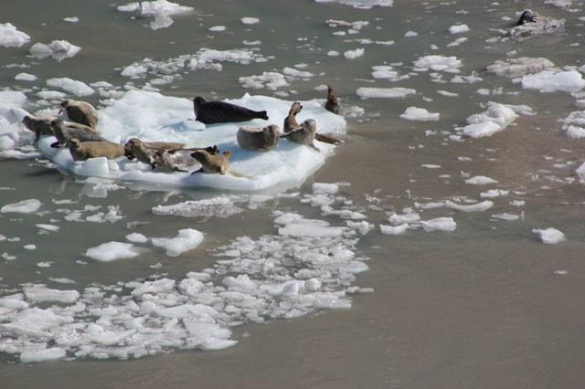 Glacier Bay Seals in Glacier Bay