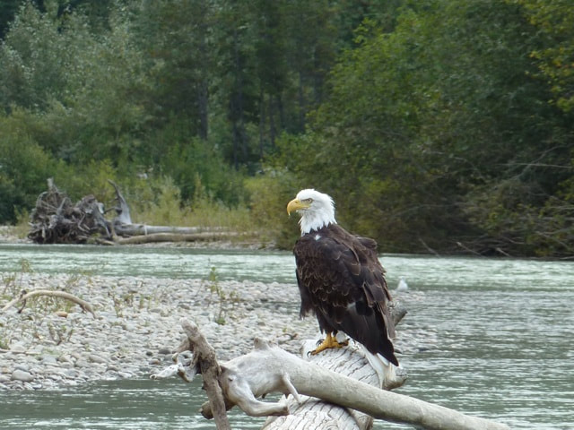 Gold Rush Country Bald Eagle