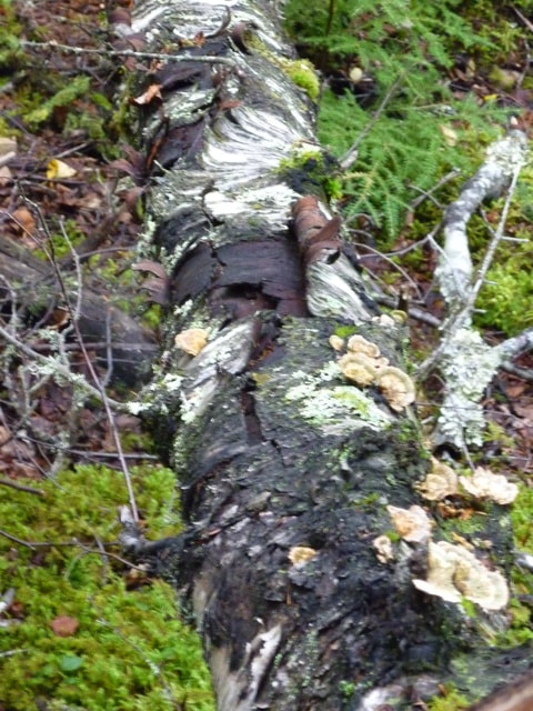 Gold Rush Country Forest Flora and Fauna Alaska