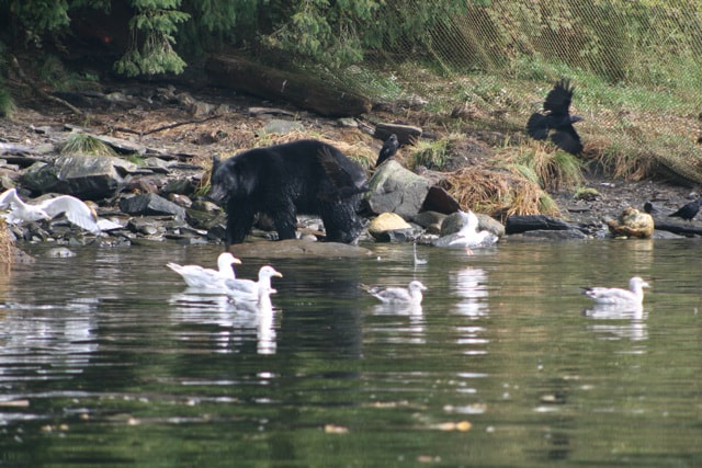 Ketchikan Black bear ignoring the seagulls