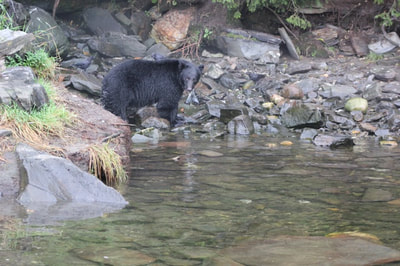 Ketchikan Black Bear Fishing for Salmon Alaska