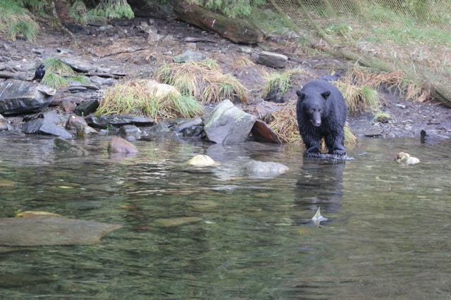 Ketchikan Black Bear fishing for Alaskan Salmon