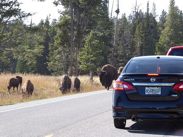 Norris Geyser Basin Bison Road Block Yellowstone NP