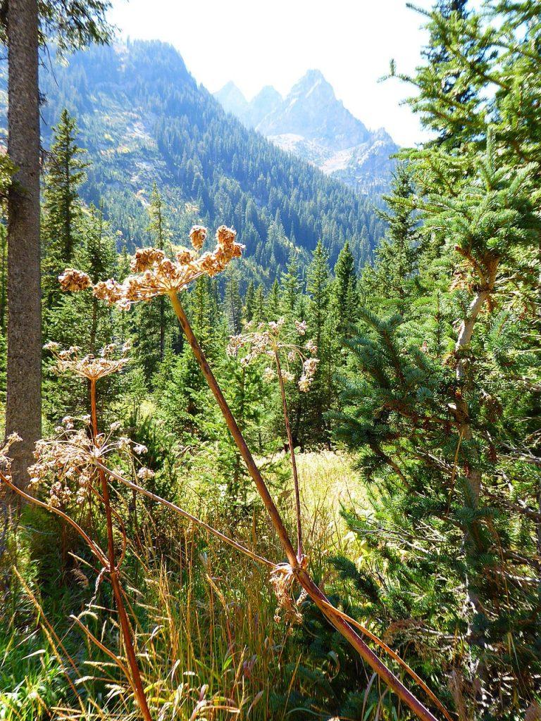 Cascade Canyon Cow parsley