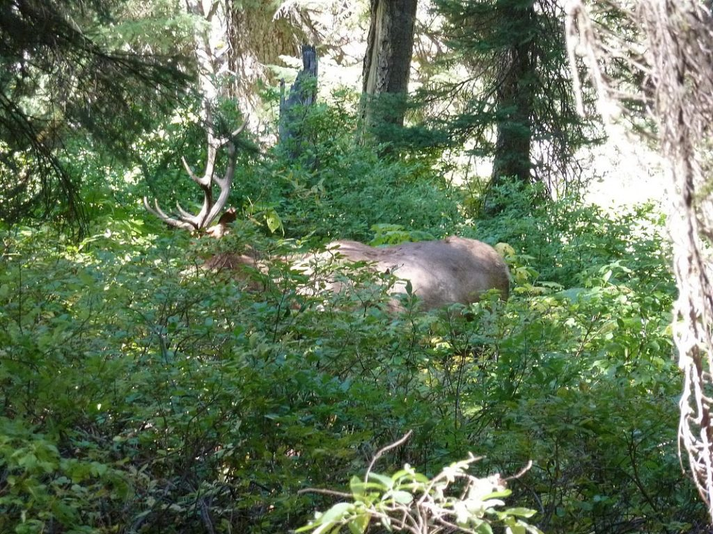 Cascade Canyon Male Elk hiding in the forest