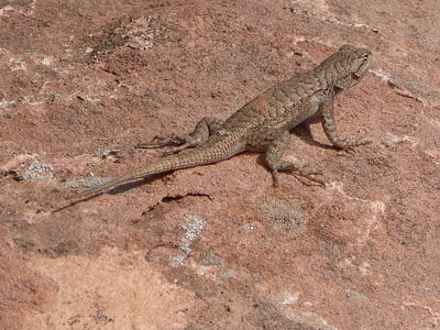Colorado National Monument Lizard
