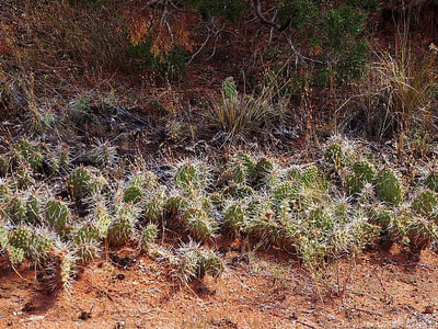 Colorado National Monument Prickly pears
