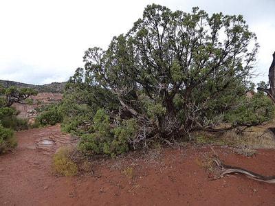 Colorado National Monument Juniper