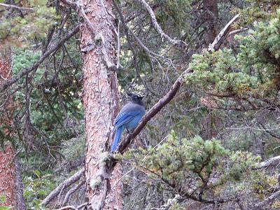 Cub Lake Fern Falls Mountain Blue Jay - RMNP