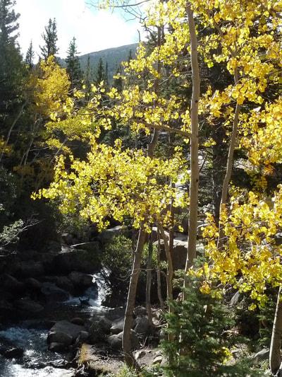 Bear Lake Quivering Aspen