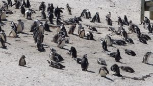 Peninsular Tour to the Penguins