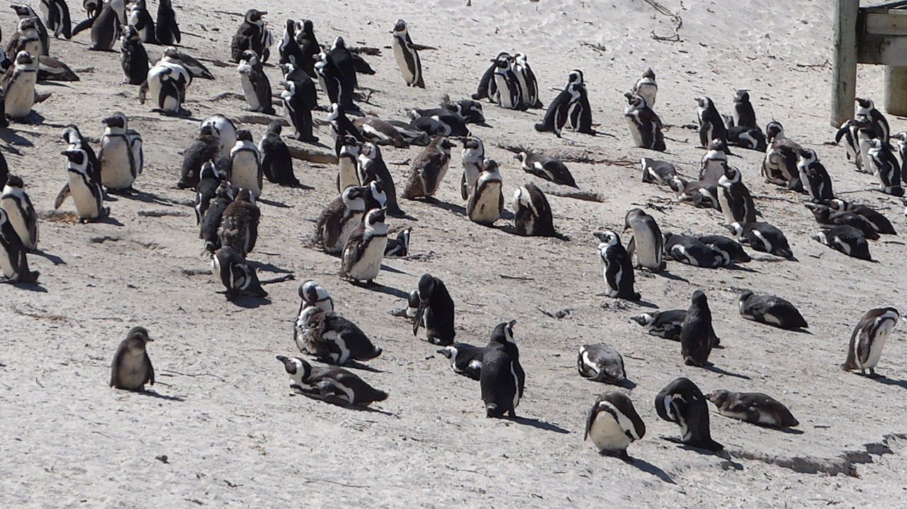 Peninsular Tour to the Penguins African Penguin Colony Boulders Bay Cape Town