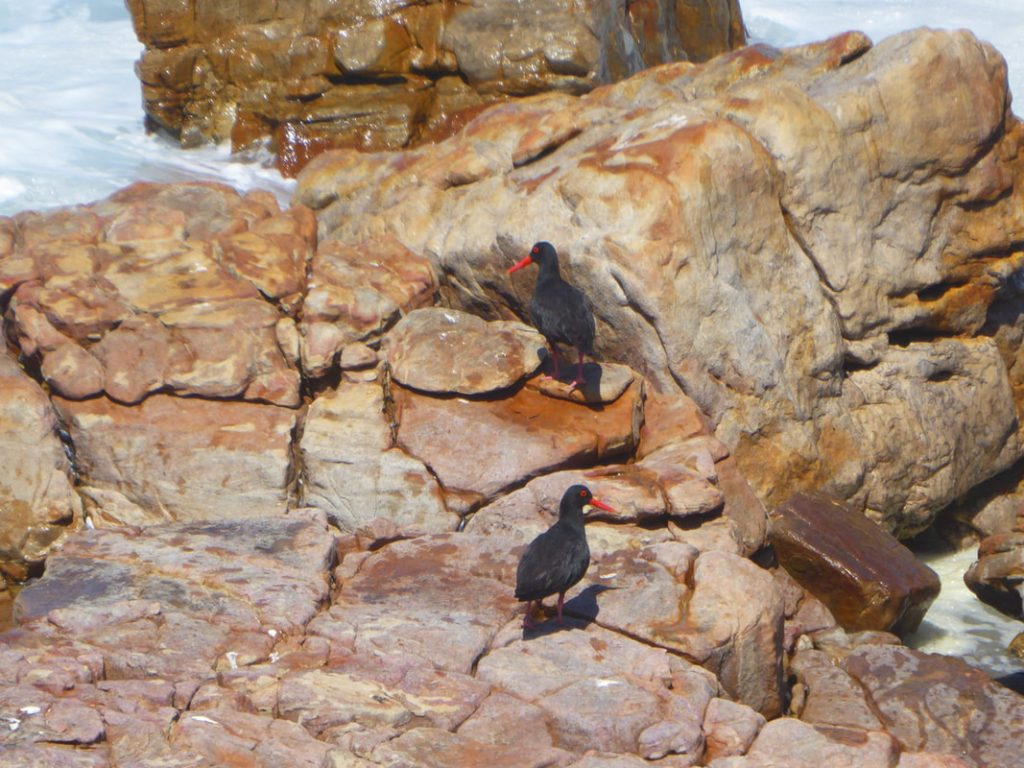 Peninsular Tour to the Penguins Pair of Oyster Catchers