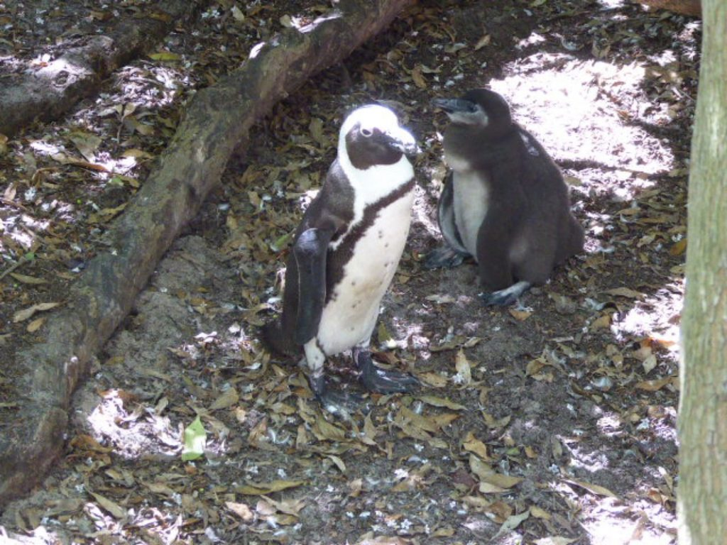 Peninsular Tour to the Penguins African Penguin Colony Boulders Bay Cape Town Mother & Baby