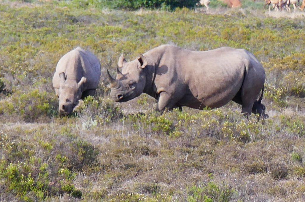 Lions - King of the Bush Shamwari - Black Rhino and Calf