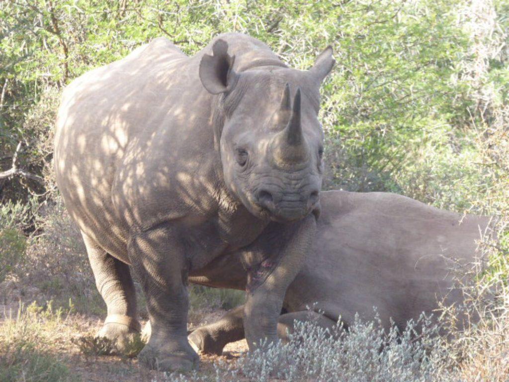 Lions - King pf the Bush Black Rhino Feeding Time