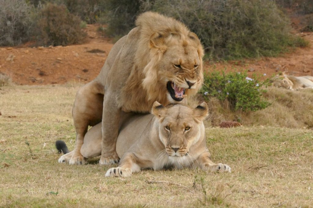Lion Foreplay