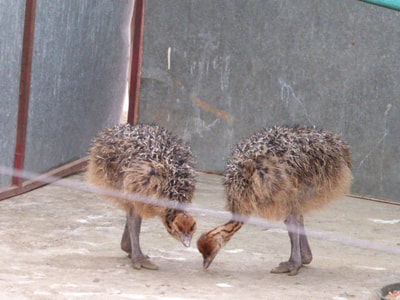 Oudtshoorn Caves and Ostriches Baby Ostriches