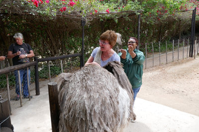 Oudtshoorn Caves and Ostriches Ostrich Hug
