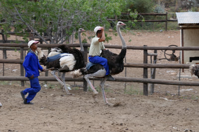 Oudtshoorn Caves and Ostriches Ostritch Farm Rides