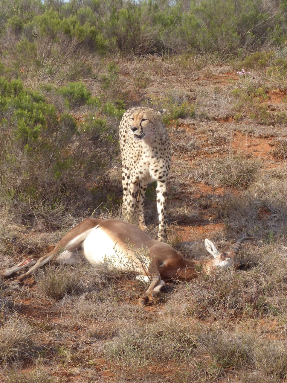 Cheetah Going in for the Kill Shamwari Going in for the kill