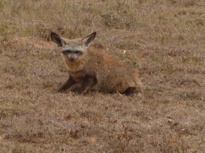 Shamwari Photographic Safari Bat Eared Fox