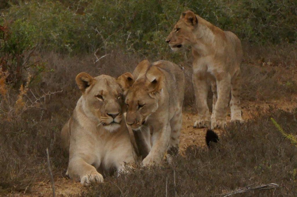 Shamwari Photographic Safari Give us a Cuddle Shamwari Lions - Time for a cuddle!