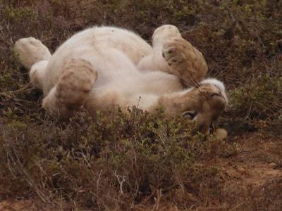 Shamwari Photographic Safari I'm so full Shamwari Lions