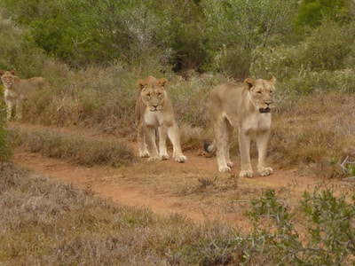 Shamwari Photographic Safari Shamwari Lions - On the prowl ...